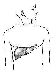 Depurare il fegato grasso e come curarlo senza farmaci