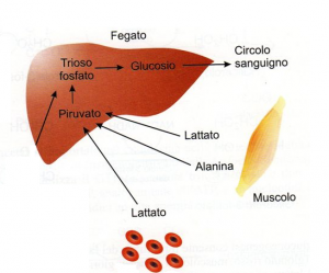 gluconeogenesi